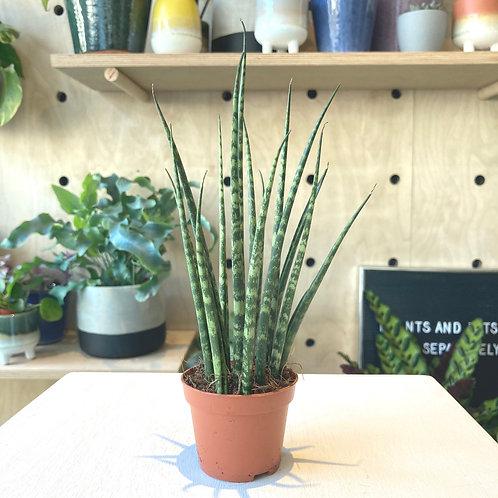 Sansevieria Fernwood Mikado - Snake Plant