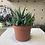 Thumbnail: Haworthia plant - 11cm dia