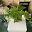 Thumbnail: Fatsia Japonica plant - Medium