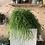 Thumbnail: Rhipsalis Baccifera 'Oasis' hanging plant