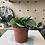 Thumbnail: Peperomia Obtipan plant - 10cm dia