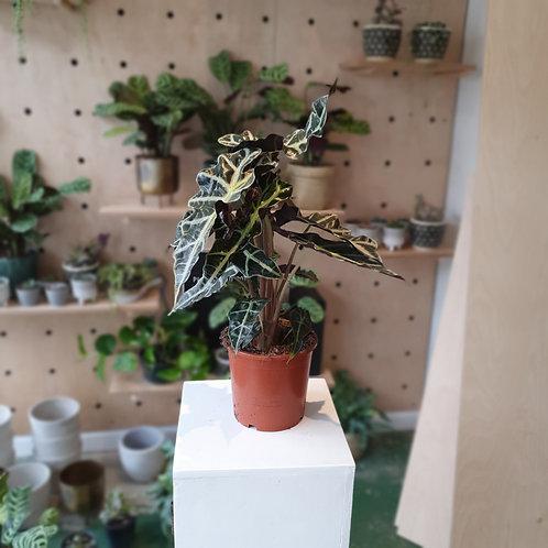 Elephant Ear Plant (Alocasia Polly)