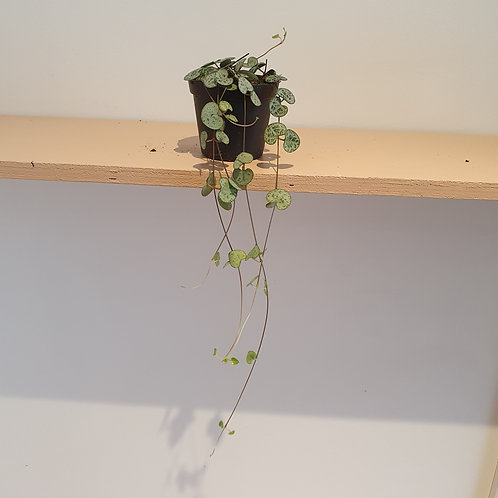 Small String of hearts plant (Ceropegia Woodii)