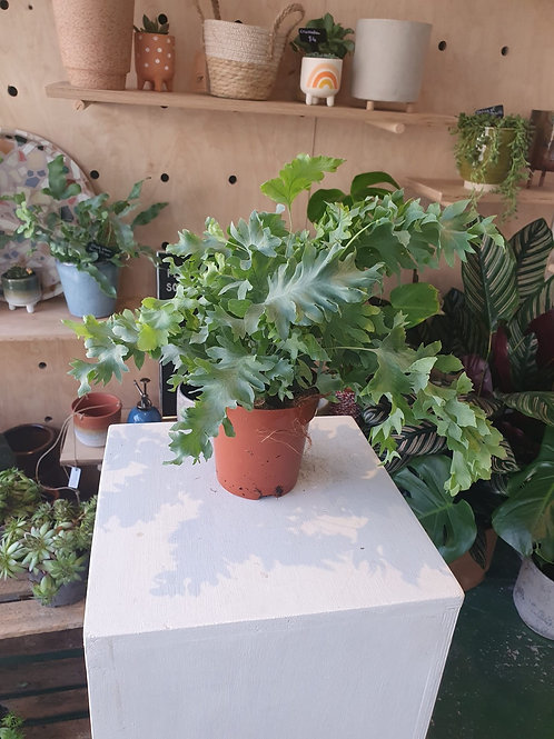 Blue Fern 'Davana' Plant - 12cm dia
