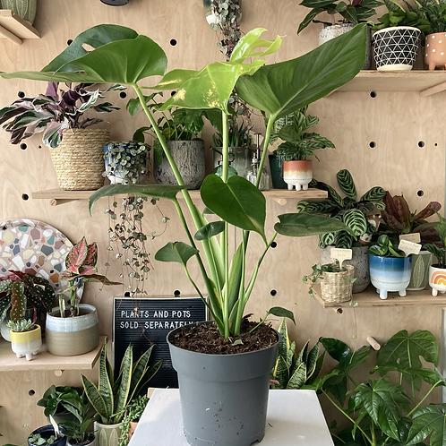 Monstera Plant - 14cm dia