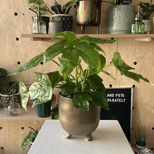 Fatsia Japonica plant - Medium