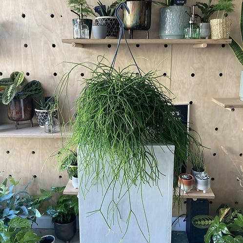 Rhipsalis Baccifera 'Oasis' hanging plant
