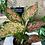 Thumbnail: Aglaonema pink spotted plant - 12cm dia