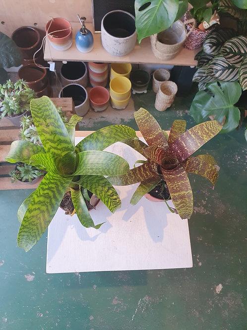 Vriesea Plant - 9cm dia