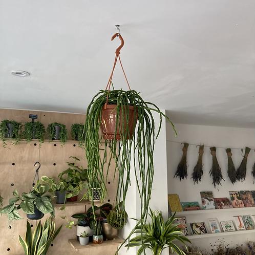 Rhapsalis Paradoxa Minor hanging plant