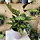 Thumbnail: Calathea Never Never plant