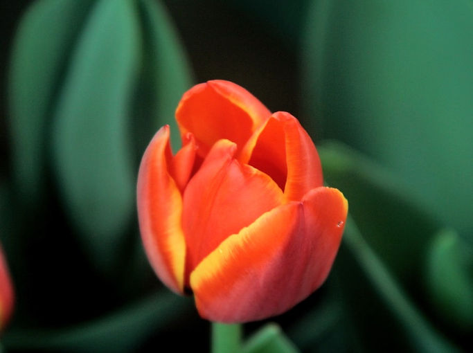 Orange Tulip_edited_edited.jpg
