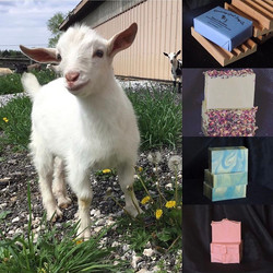 bouncing white goat img
