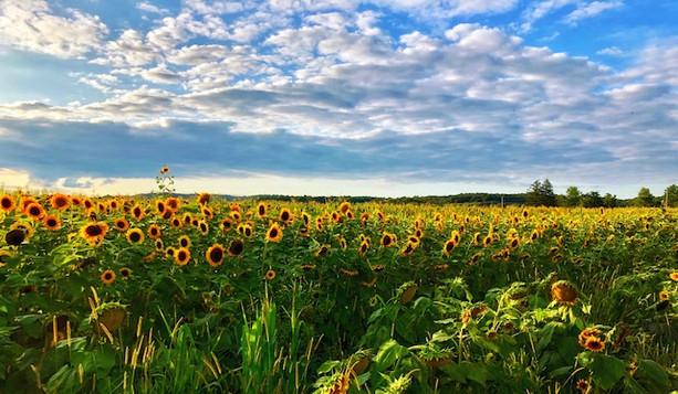 sunflower fields img.jpeg