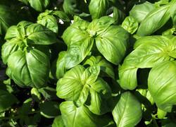 basil plant img