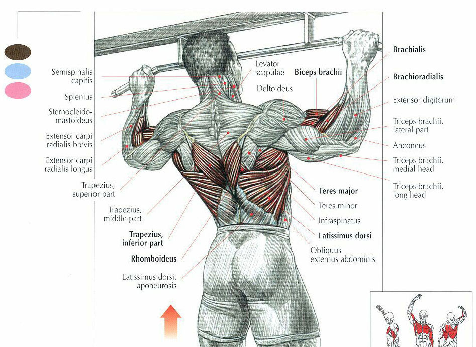 back muscles for climbing