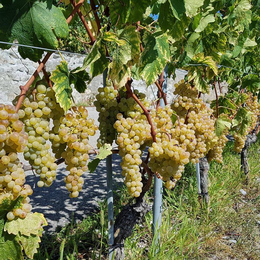 Il est magnifique, avec de belles grosses baies. Il se dore gentiment. L'état sanitaire des vignes est presque parfait dans la majorité des parcelles. Ça s'annonce très bien.