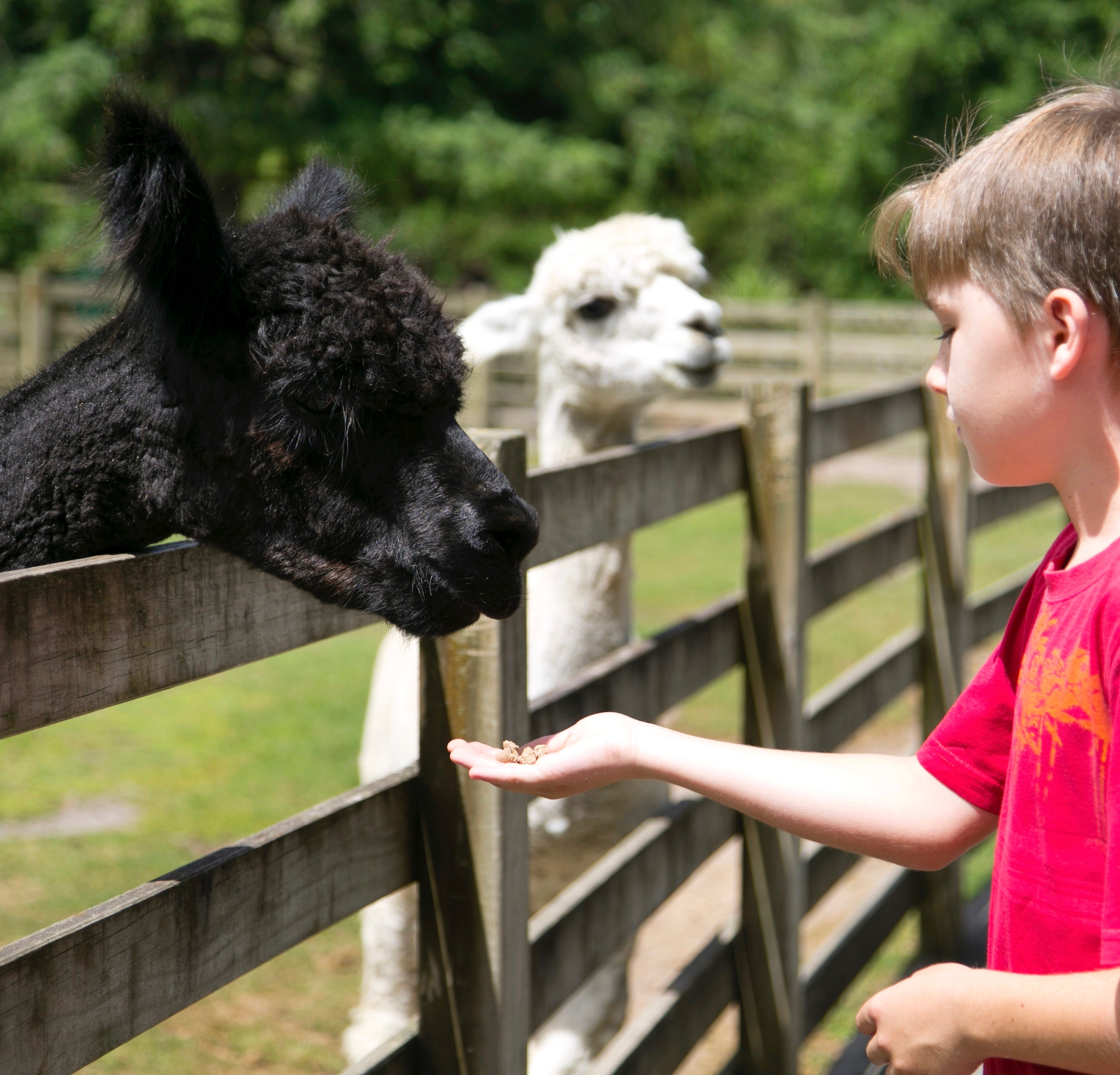 Paradise Valley alpacas
