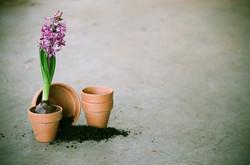 Purple Hyacinth Bulb