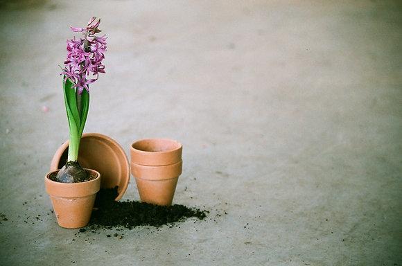 Hyacinth Flower Bulbs Random colors (Pack 3 Bulbs)