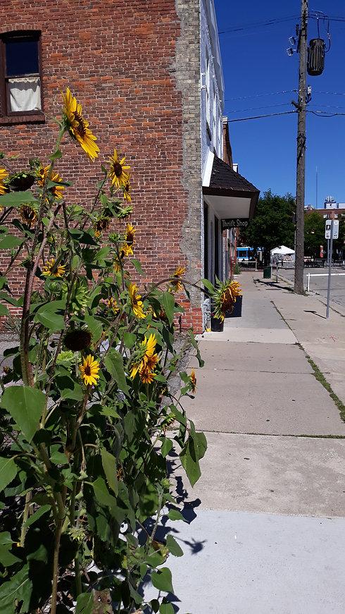 Sunflowers 2020.jpg