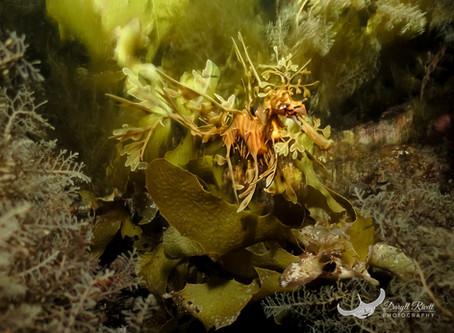 The Infamous Leafy Sea Dragon - South Australia's Marine Emblem.