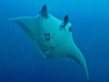 Do you Love Manta Ray's?          Then follow my Intern experiences.