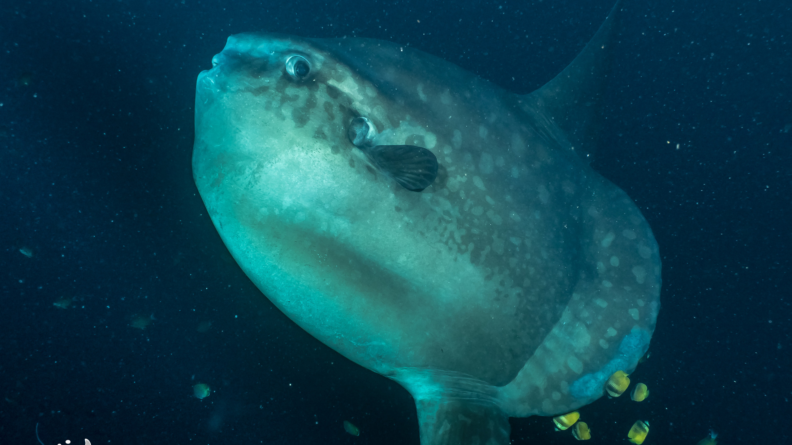 Mola Mola getting cleaned