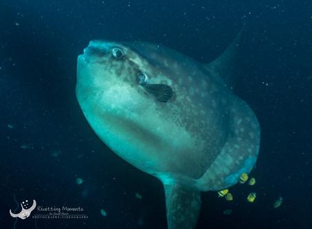 Mola Mola Hunters - Lembongan