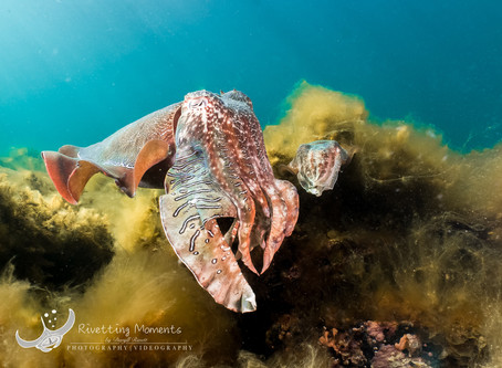 Swimming with Giant Cuttlefish - Whyalla (Sth Aust)