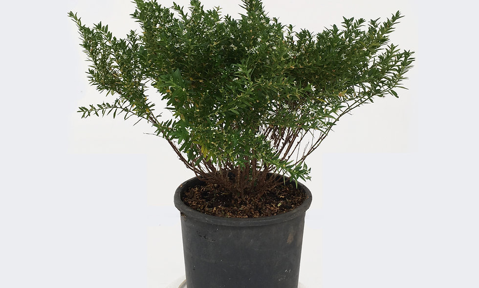 Cuphea hyssopifolia bianca