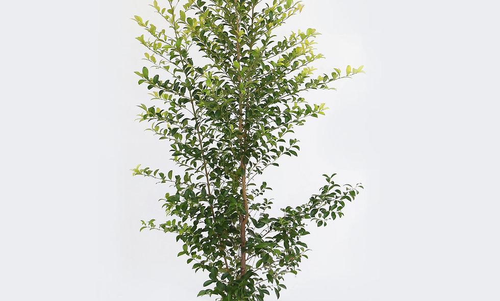 Eugenia mirtifolia