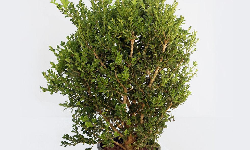 Buxus Rotondifolia