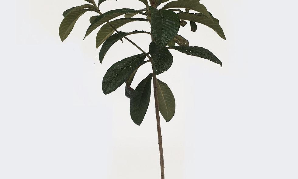 Nespolo - Eriobotrya japonica