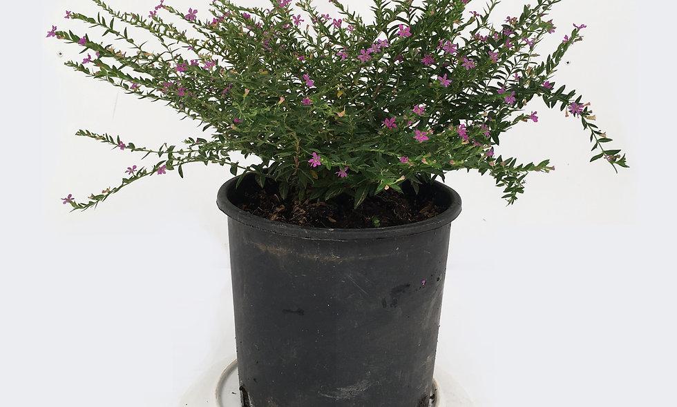 Cuphea hyssopifolia lilla
