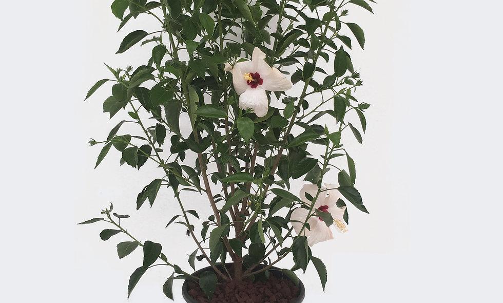 Hibiscus fiore bianco