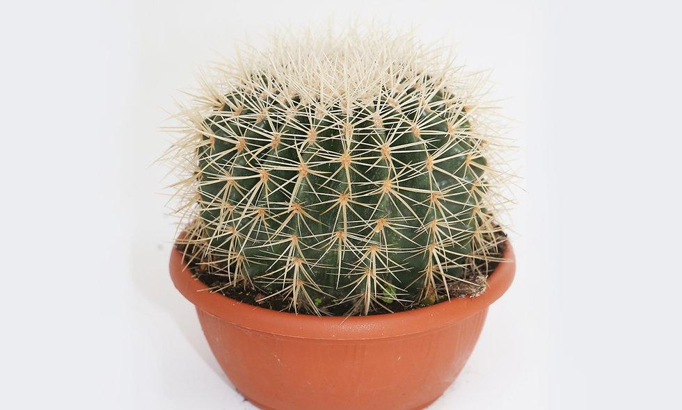 Echinocactus grusonii alba