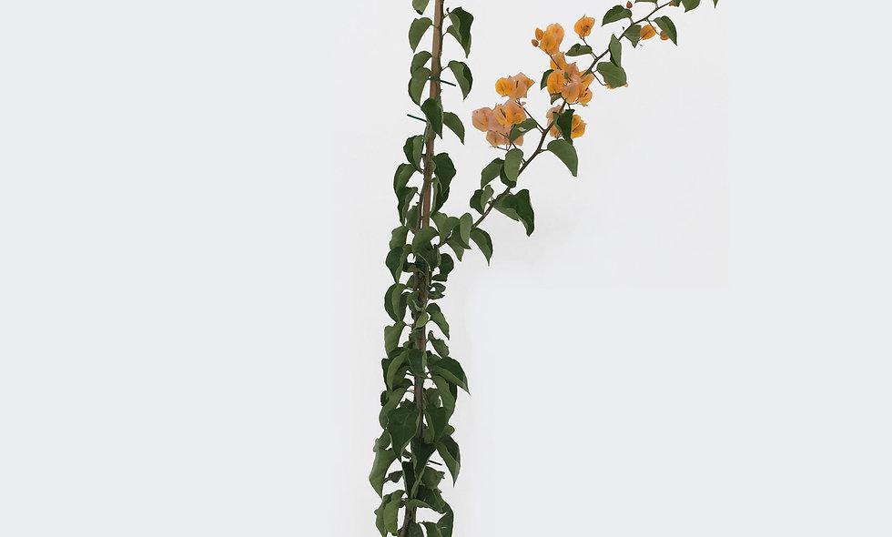 Bouganvillea gialla
