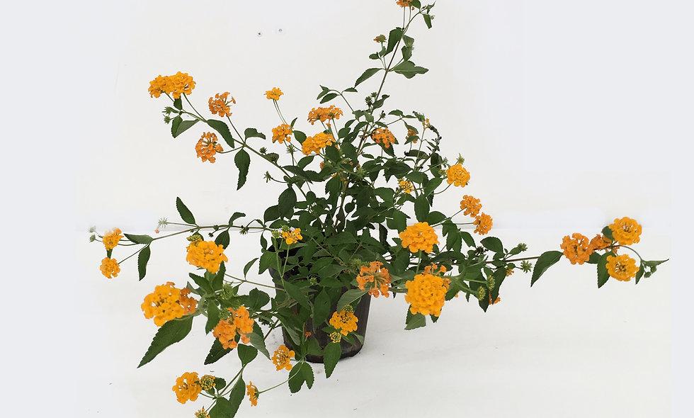 Lantana sellowiana gialla, viola