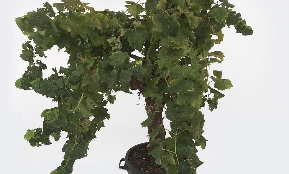 Vitis vinifera Cataratto bianco comune