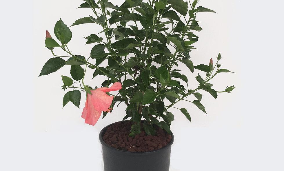 Hibiscus fiore rosa
