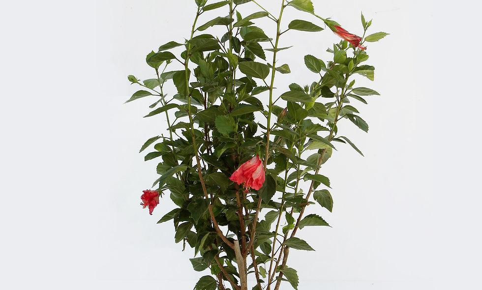 Hibiscus fiore rosso