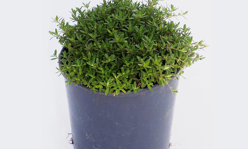 Thymus officinalis