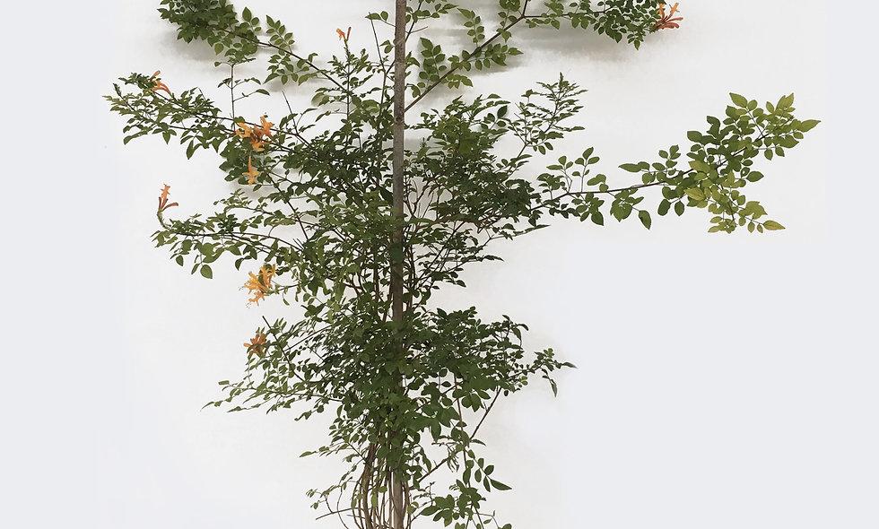 Bignonia capensis arancio