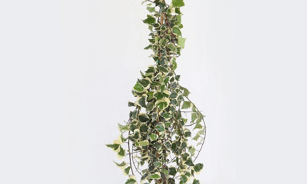 Hedera variegata