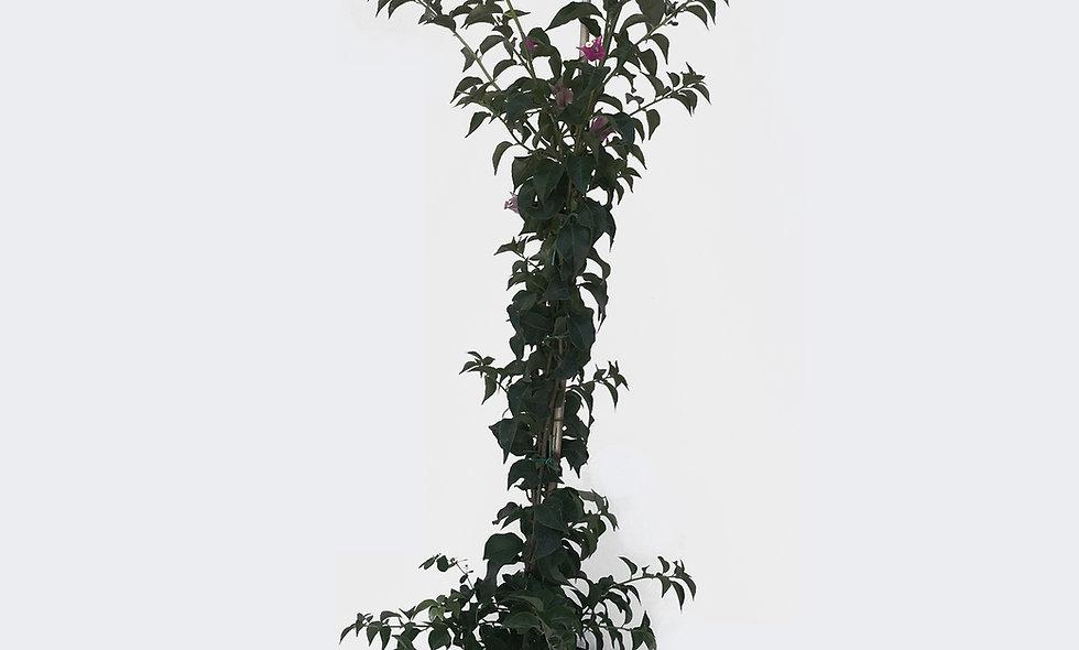 Bouganvillea sanderiana