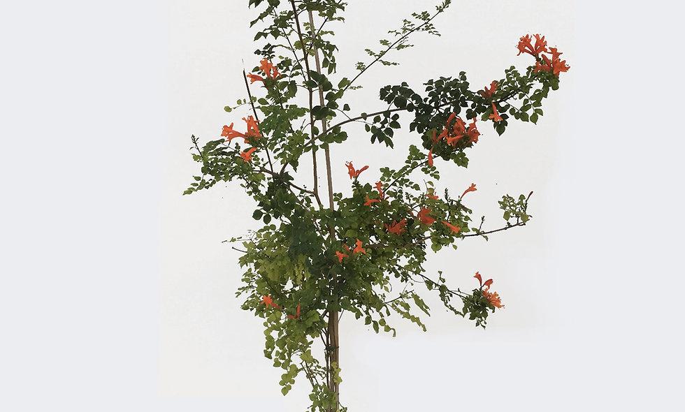 Bignonia capensis rosso-arancio
