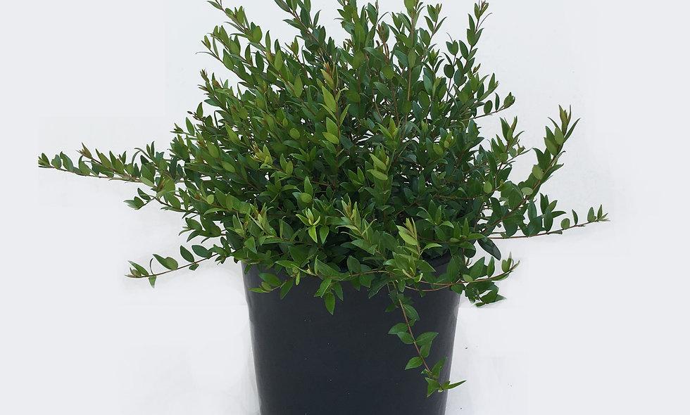 Myrtus communis - Mirto comune