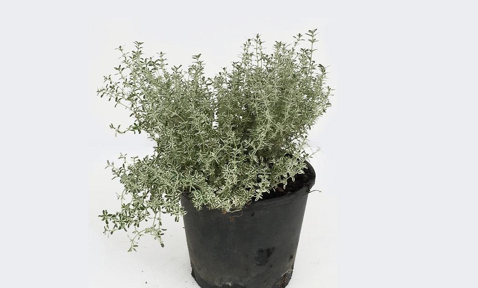 Thymus citriodorus silver queen