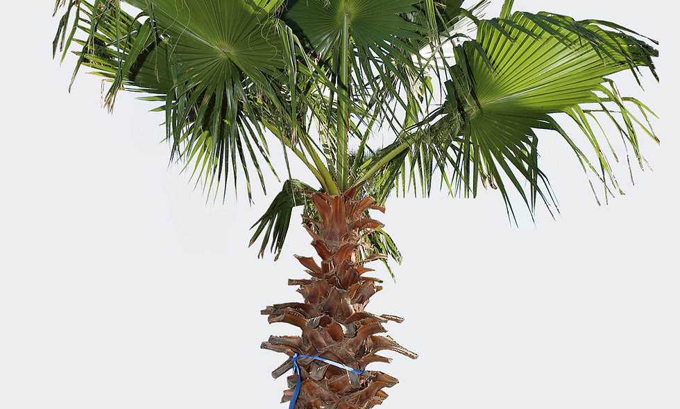 Washingtonia Filifera in vaso